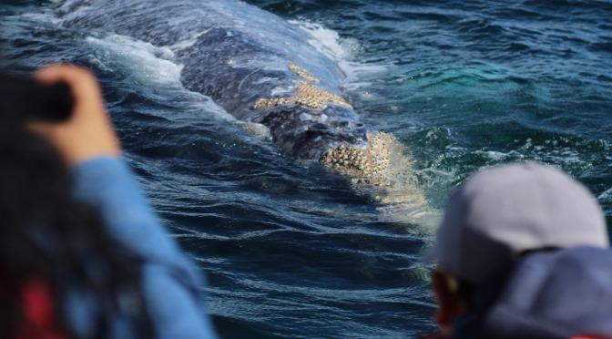 Puerto Chale, cierra su temporada de avistamiento de la ballena gris con gran éxito.